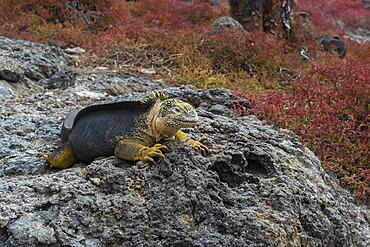 Land Iguana (Conolophus subcristatus), South Plaza Island, Galapagos islands, Ecuador.