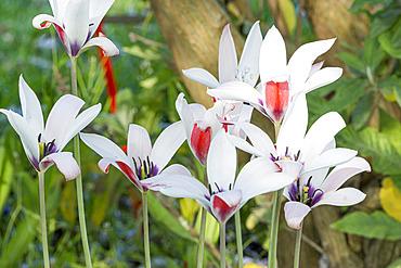 Tulipa clusiana 'Peppermint Stick'