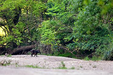 Eurasian wild boar (Sus scrofa) crossing a dry arm of the Loire River, Loire Valley, France