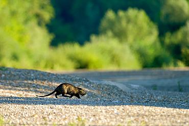 Coypu (Myocastor coypus) crossing a dry arm of the Loire at dawn, Loire Valley, France