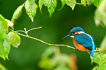 European Kingfisher (Alcedo Atthis) on the look-out on the banks of the Loire River, Loire Valley, France