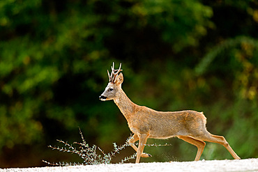 Roedeer (Capreolus capreolus) crossing a dry arm of the Loire River, Loire Valley, France