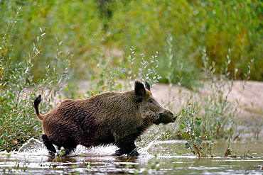 Eurasian wild boar (Sus scrofa) male crossing an arm of the Loire River, Loire Valley, France