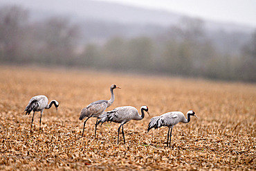 Common cranes (Grus grus) in a corn field that has been mowed . There are still corn kernels to be eaten, Loire Valley, France
