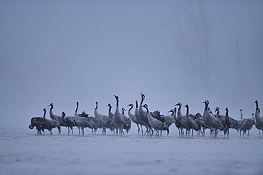 Song of the ash cranes (Grus grus) at dawn on a beach of the Loire, the cranes wake up and will not trade to fly away at sunrise, Loire Valley, France