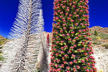 Tajinaste rojo (Echium wildpretii), is an endemic Tenerife plant. Teide National Park, World Heritage Site. Canary Islands.