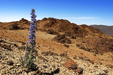 Tajinaste blue (Echium auberianum), is an endemic Tenerife plant. Teide National Park, World Heritage Site. Canary Islands.