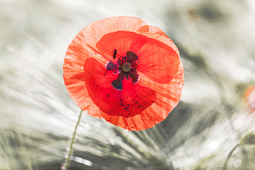 Poppy (Papaver rhoeas) flower and mining bee (halictus sp), Alsace, France