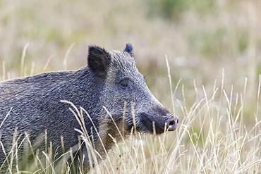 Portrait of Wild boar (Sus scrofa), Vosges, Alsace, France