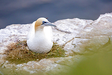 Northern Gannet (Morus bassanus) at the nest, on the cliff of Troup Head, Scotland