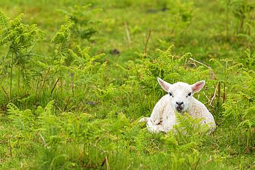 Scottish Blackface lamb, on the Isle of Mull, Scotland