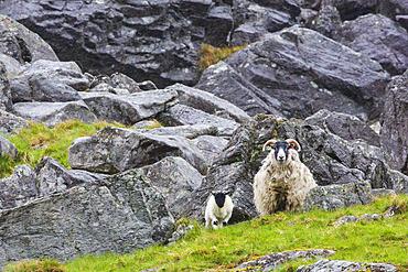 Scottish Blackface sheep (Ovis aries) ewe and her lamb, Glen Clova Valley, Scotland
