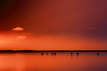 Great flamingos (Phoenicopterus roseus) at dawn, on a pond in the Camargue, France
