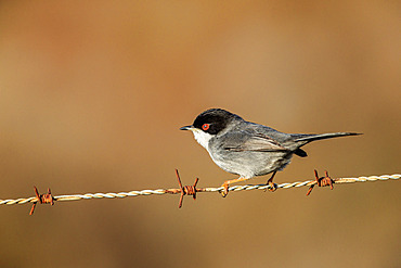 Sardinian Warbler (Sylvia melanocephala) on a wire, Camargue, France