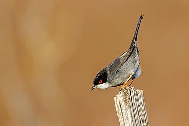 Sardinian Warbler (Sylvia melanocephala) on a post, Camargue, France