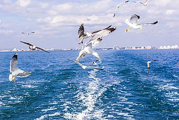 Yellow-legged Gull (Larus michahellis) in flight in the Mediterranean, off the coast of La Grande Motte, France