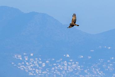 Marsh harrier (Circus aeruginosus) in flight, in the Aiguamolls marsh, Spain