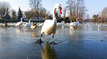 Ducks, swans, geese and seagulls on a frozen lake in the Bois de Vincennes in winter. Bois de Vincennes. Paris (75012). France.