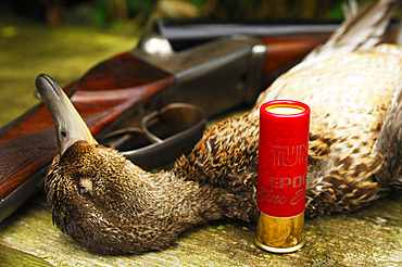 France. Hunting. The European commission has adopted in january 2021 a ban on using lead 100m around any wetland in Europe. So far in France, the ban is only 30m if using new anmunitions with zinc, steel, tungsten and bismuth. Here a teal and a new anmunition with tin.