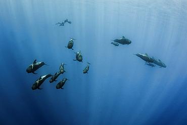 Pilot whale (Globicephala macrorhynchus). Tenerife, Canary Islands.