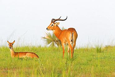 Uganda's Kob (Kobus thomasi), Murchison Falls National park, Uganda