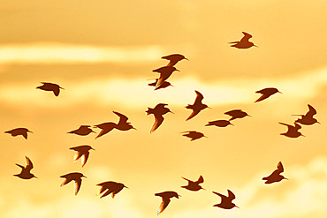 Flight of Dunlin (Calidris alpina) in backlight at sunrise, Serignan Beach, Herault, France