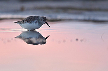 Dunlin (Calidris alpina) feeding in the water at the end of the day, Serignan Beach, Herault, France