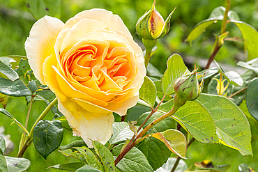 Rosa 'Bataclan' Obtenteur : Tantau (GER) 2003