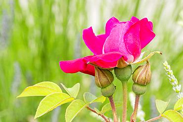 Rosa 'Rose à Parfum de l'Hay' Breeder : Gravereaux (FRA) 1901