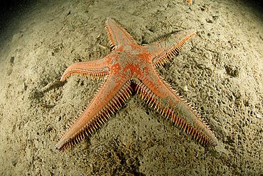 Sea star, (Astropecten aranciacus), Puolo Bay, Marine Protected area Punta Campanella, Massa Lubrense, Penisola Sorrentina, Costa Amalfitana, Italy, Tyrrhenian Sea, Mediterranean