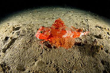 Streaked gurnard (Trigloporus lastoviza), Puolo Bay, Marine Protected area Punta Campanella, Massa Lubrense, Penisola Sorrentina, Costa Amalfitana, Italy, Tyrrhenian Sea, Mediterranean