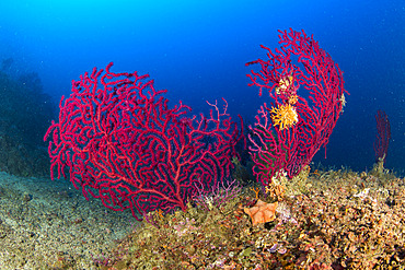 Seafan, Red Gorgonian, Paramuricea clavata, Vervece rock, Marine Protected area Punta Campanella, Massa Lubrense, Penisola Sorrentina, Costa Amalfitana, Italy, Tyrrhenian Sea, Mediterranean