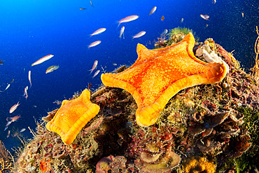 Two Penta star, Peltaster placenta, Marine Protected area Punta Campanella, Massa Lubrense, Penisola Sorrentina, Costa Amalfitana, Italy, Tyrrhenian Sea, Mediterranean