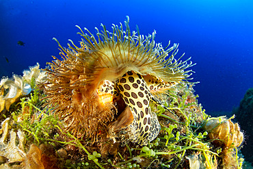 Hairy triton (Monoflex parthenopeus) Vervece rock, Marine Protected area Punta Campanella, Massa Lubrense, Penisola Sorrentina, Costa Amalfitana, Italy, Tyrrhenian Sea, Mediterranea