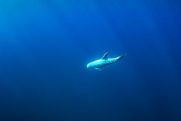 Risso's dolphin (Grampus griseus), Pelagos Sanctuary for Mediterranean Marine Mammals, France, Mediterranean Sea