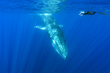 Snorkeler and fin whale (Balaenoptera physalus) is the largest baleen whale found in the Mediterranean Sea. It is the world?s second largest cetacean, after the blue whale. Pelagos Sanctuary for Mediterranean Marine Mammals, Mediterranean Sea