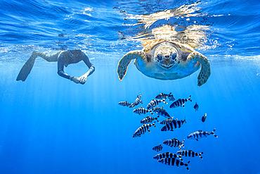 Snorkeler with Loggerhead turtle (Caretta caretta), one of the three species found in Mediterranean Sea. Pelagos Sanctuary for Mediterranean Marine Mammals, Mediterranean Sea
