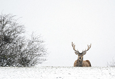 Red deer (Cervus elaphus) stag laying in the snow, england