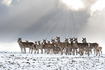 Red deer (Cervus elaphus) group standing in the snow