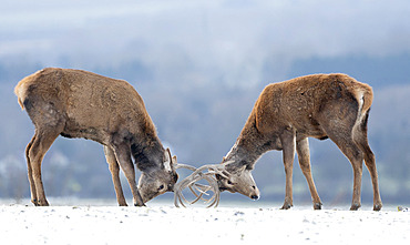 Red deer (Cervus elaphus) stag standing in a snow covered meadow, England