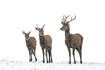 Red deer (Cervus elaphus) stag stading in a snow storm, England