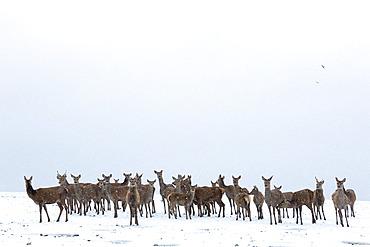 Red deer (Cervus elaphus) standing in a snow covered meadow, England