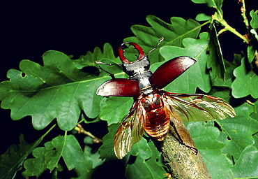 European stag beetle