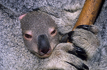 koala closeup of baby in mother's pouch Australia