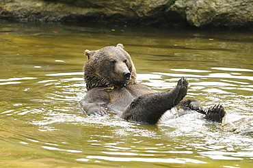 European brown bear brown bear bathing playing in water