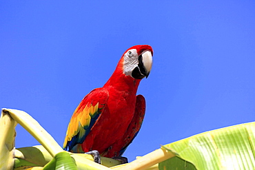 scarlet macaw scarlet macaw sitting on banana tree portrait
