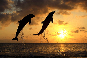 bottle-nosed dolphin bottle-nosed dolphin 02 jumping out of water portrait side view sunset