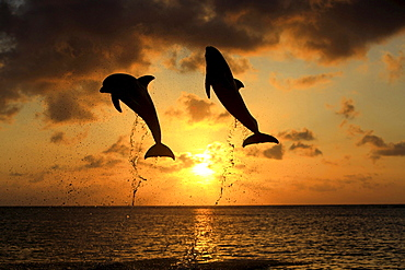 bottle-nosed dolphin bottle-nosed dolphin 02 jumping out of water portrait front view sunset