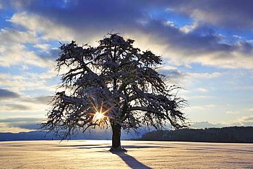 apple tree apple tree snow covered in winter landscape sunrise mood Switzerland
