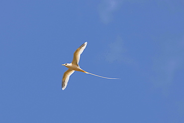 golden tropic bird golden bosun tropic bird flying endemic Christmas Island Australian Territory